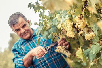 Adult Man Harvesting Grapes in the Vineyard