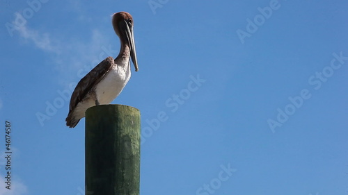 Pelican standing on post
