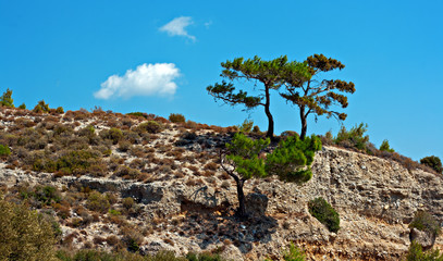 Pine tree growing on edge of mountain side