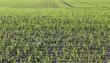 champs de jeunes pousses de céréales