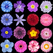 Various Red, Pink, Blue and Purple Flowers Isolated on Black