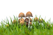 Group of psathyrella mushrooms on fresh grass