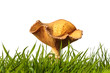 Autumn clitocybe mushroom on fresh green grass