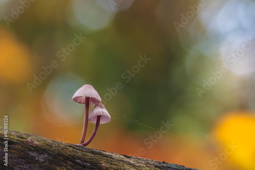 Fragile psathyrella mushrooms on an old trunk in autumn