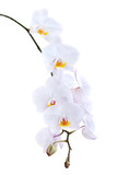 White orchid on a white background
