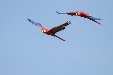 Scarlet Macaws in Flight - 2