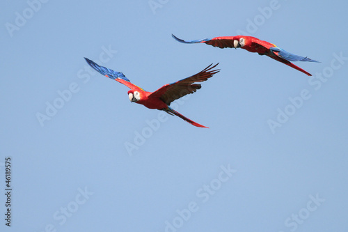 Scarlet Macaws in Flight - 2