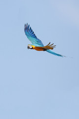 Macaw in Flight 6