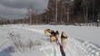 A Siberian sled dogs
