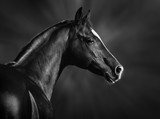 Black and white portrait of arabian stallion - Fine Art prints