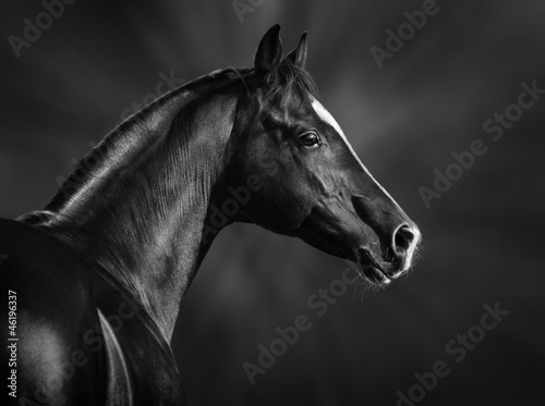 Black and white portrait of arabian stallion