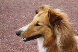 sheltie collie dog