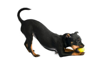 Cute puppy of russian toy-terrier