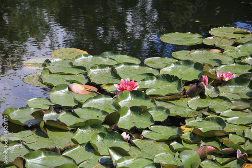 Floating water lillies