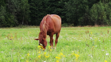 horse grazing in a meadow