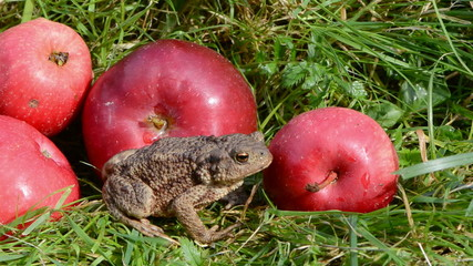 amphibian big common toad (Bufo bufo) and red apples on grass