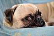Annoyed Pug Puppy