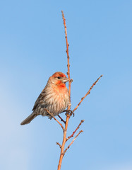 House Finch Pride