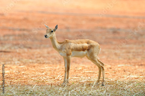 Indian Black Buck Antelope (Antelope cervicapra L.)..