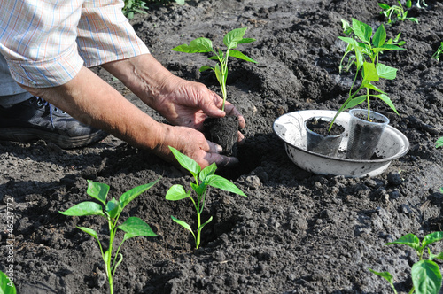 senior woman planting a pepper seedling