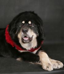 Portrait of a big dog on a black background.