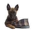 Belgian Shepherd puppy lying on a slipper