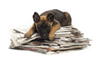 Belgian Shepherd lying on a pile of newspaper