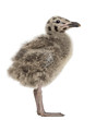 Side view of an European Herring Gull chick, Larus argentatus