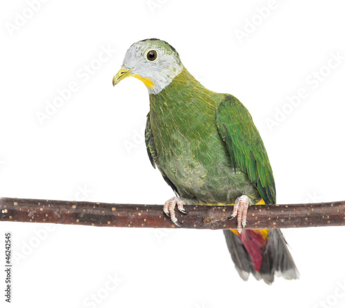 Fotobehang Zwaan Black-naped Fruit Dove perched on branch
