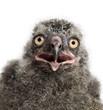 Snowy Owl chick, Bubo scandiacus