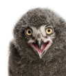 Snowy Owl chick calling, Bubo scandiacus