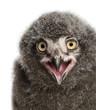 Snowy Owl chick calling, Bubo scandiacus