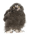 Snowy Owl chick, Bubo scandiacus, 31 days old