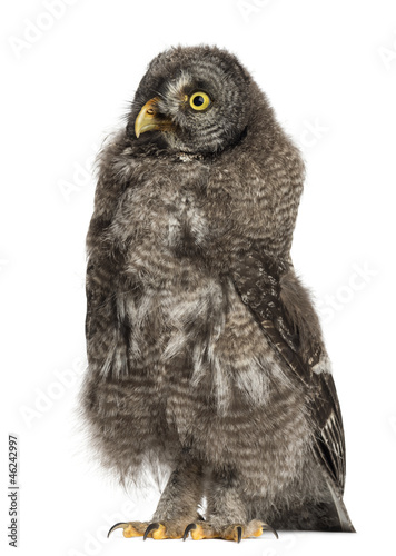 Great Grey Owl or Lapland Owl, Strix nebulosa