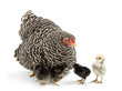 Mother Hen with its chicks against white background