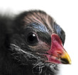 Close-up of a Common Moorhen, 4 days old