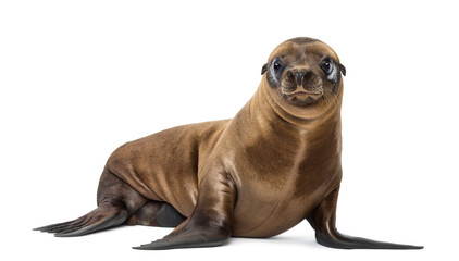 Young California Sea Lion, Zalophus californianus