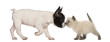 French Bulldog puppy and British shorthair kitten sniffing