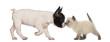 French Bulldog puppy and British shorthair kitten sniffing