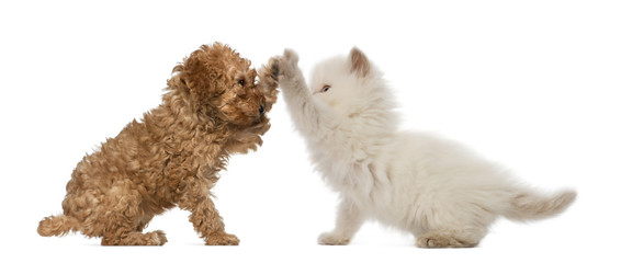 Poodle Puppy and British Longhair Kitten high fiving