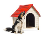 Border Collie tied and barking next to a kennel poster