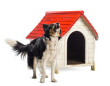 Border Collie barking next to a kennel against white background poster