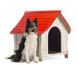 Border Collie sitting next to a kennel and looking away poster