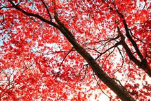 Röd Japansk lönn träd i parken
