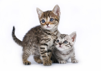 Two Scottish kitten on a white background.