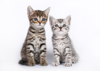 Two Scottish kitten sitting on a white background.