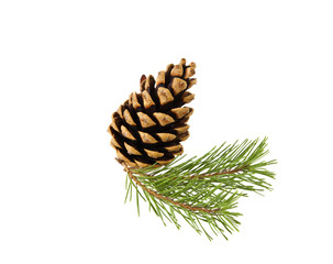 Sprig of pine cone isolated