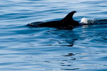 barbatana de golfinho