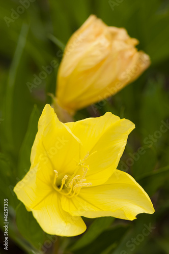 Missouri evening primrose, Oenothera macrocarpa