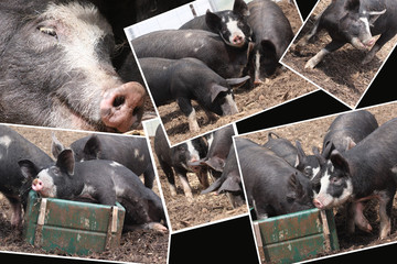 Pigs Like Life - old breed Berkshire pigs compilation
